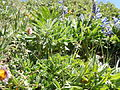 Astragalus alpinus (6120964792).jpg