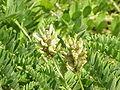 Astragalus cicer1.jpg