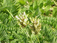 Astragalus cicer1