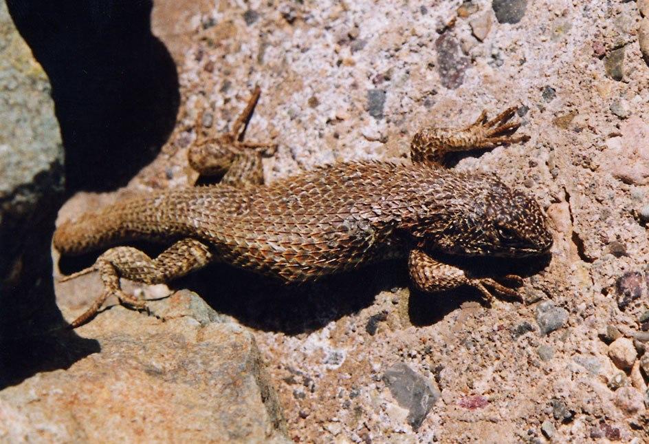 Atacama lizard1