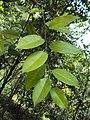 Atlantia monophylla 02.JPG