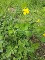 Atlas roslin pl Glistnik jaskółcze ziele 3580 8333.jpg