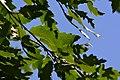 Atlas roslin pl Quercus libani 7095 9428.jpg