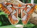 Attacus atlas-botanical-garden-of-bern 14.jpg