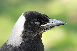 Australian Magpie closed eyes.jpg