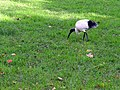 Australian White Ibis - Sydney, Australia (9530682911).jpg