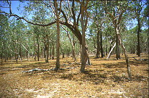 Savanna - Typical tropical savanna in Northern Australia demonstrating the high tree density and regular spacing characteristic of many savannas