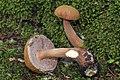 Austroboletus gracilis 258298.jpg