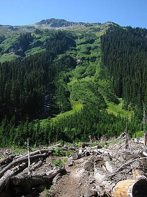 Alnus viridis - An avalanche chute is typical Green Alder habitat
