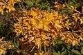 Azaleas Orange Blossoms.jpg