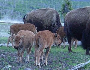 Henry Mountains bison herd - Image: Baby Bison in Yellowstone
