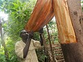 Back cloth preparation from a fig tree in Uganda 03.jpg
