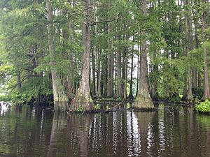 Sussex County, Delaware - Cluster of bald cypress trees seen in Trap Pond State Park