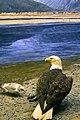 Bald Eagle Eats Salmon (40902722).jpeg