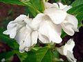 Balsam flowers 9.JPG
