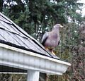Band-tailed Pigeon (Patagioenas fasciata) on my roof - Flickr - brewbooks.jpg