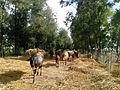 Bangladeshi Cow.jpg