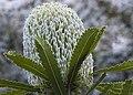 Banksia (1409578735).jpg