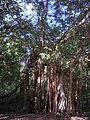 Banyan tree in Bangka.jpg