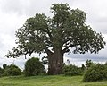 Baobab (Adansonia digitata) in Botswana.jpg