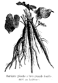 Bardane géante à très grande feuille Vilmorin-Andrieux 1904.png