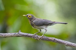 Bare-eyed Thrush (5529613751).jpg