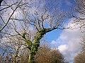 Bare Tree, Trenewydd Lane, Llanteg - geograph.org.uk - 1045124.jpg