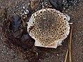Barnacles growing inside a scallop (4505171623).jpg