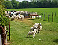 Barton Stacey - Sheep - geograph.org.uk - 795085.jpg
