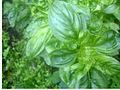 Basil ocimum basilicum.jpg