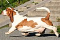 BassetHound rorelse.jpg