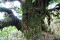 Baumveteran im Laurisilva von Madeira zwischen Paul da Serra und Fanal II.jpg