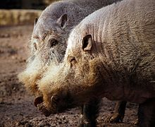 Pigs Against Malaria – Vector Ecology