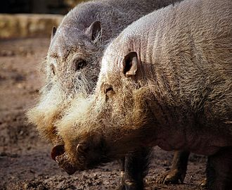 Pig - Bearded pigs (Sus barbatus)