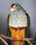 BeautifulFruitDove025.jpg