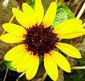 Beauty of Sunflower.jpg