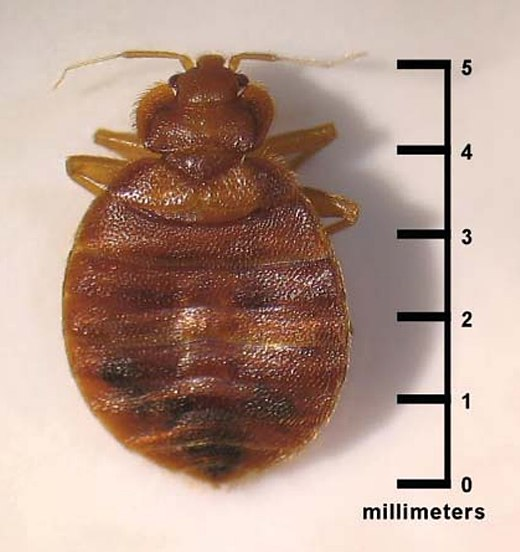 Outstanding Bed Bug Wikiwand Lamtechconsult Wood Chair Design Ideas Lamtechconsultcom