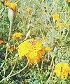 Bee on flower1.jpg