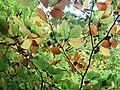 Beech leaves preparing for the winter - geograph.org.uk - 1542618.jpg
