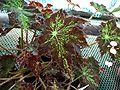 Begonia heracleifolia 1-OB9.jpg