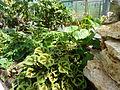 Begonia masoniana-serre 01.JPG