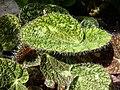 Begonia sizemorae-Auteuil.JPG