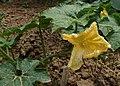 Benincasa hispida kz01.jpg