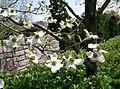Benthamidia florida13.jpg