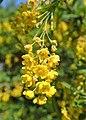 Berberis vulgaris kz03.jpg