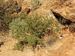 Berlandier's Wolfberry - Flickr - treegrow (2).jpg
