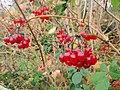 Berries, Lindisfarne Park - geograph.org.uk - 1562168.jpg