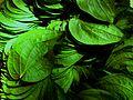 Betel leafs Selling.JPG