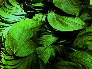 Mysore betel leaf - A sheaf of Mysore Betel leaves for sale in Bengaluru