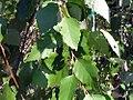 Betula nigra Summer Cascade 0zz.jpg